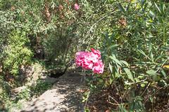 Ψίνθος (Psinthos.Net) Tags: ψίνθοσ psinthos ήλιοσ sun nature countryside φύση εξοχή σεπτέμβρησ σεπτέμβριοσ φθινόπωρο autumn september morning πρωί πρωίφθινοπώρου φθινοπωρινόπρωί psinthosvalley valley κοιλάδα κοιλάδαψίνθου κοιλάδαψίνθοσ μονοπάτι path paved λιθόστρωτο πεσμέναφύλλα fallenleaves leaves φύλλα φύλλαφθινοπώρου autumnleaves φθινοπωρινάφύλλα πέτρεσ βράχια βράχοι rocks stones sunrays αχτίνεσήλιου άγριοσκισσόσ wildivy μικρήλίμνη smalllake pinkblossoms ρόζάνθη άνθη blossoms pinkoleander ρόζπικροδάφνη πικροδάφνη oleander bramble βάτοσ ρυάκι rivulet greens χόρτα light shadow φώσ σκιά φώσήλιου φώσηλίου sunlight