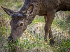 Female red deer #1 (Dan Österberg) Tags: deer reddeer stag cervuselaphus animal wild free nature mammal norway