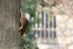 Squirrels in Ann Arbor at the University of Michigan on September 7th, 2018 (cseeman) Tags: gobluesquirrels squirrels annarbor michigan animal campus universityofmichigan umsquirrels09072018 summer eating peanut septemberumsquirrel