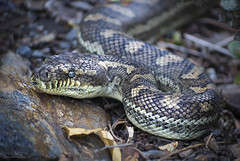 tasting the air (gnarlydog) Tags: snake carpetsnake australia notatthezoo wildanimal animal closeup manualfocus adaptedlens kodakcineektanon102mmf27 shallowdepthoffield nature vintagelens texture python