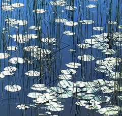 (Edinburgh Nette ...) Tags: ponds backlight lilies reflections mull aros ribbet