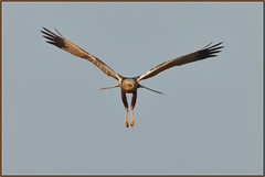 Marsh Harrier (image 1 of 2) (Full Moon Images) Tags: rspb lakenheath fen wildlife nature reserve bird birdofprey flight flying male marsh harrier