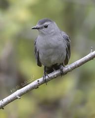 Gray Catbird (Bill McDonald 2016) Tags: catbird rufous rufus ontario canada september 2018 perching perched wwwtekfxca billmcdonald wildlife nature avian photography