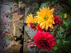 September Song: Flowers & Rain (Colormaniac too - Many thanks for your visits!) Tags: autumn september flowers dahlias colorful digitalpainting inveraray scotland rainyday flowersandrain travel topaztextureeffects topazstudio netartll hss