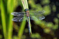 Migrant Hawker Dragonfly (Quietime photography) Tags: emperor dragonfly watermead contry park leicestershire council water reads lakes