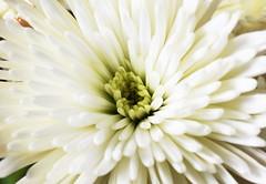 DSC_1628 Daisy (PeaTJay) Tags: nikond750 sigma reading lowerearley berkshire macro micro closeups gardens indoors nature flora fauna plants flowers daisies daisy