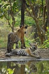 Making your siblings smile is the best thing to do;) (Sarveshphule) Tags: tiger nikon nikonindia india maharashtra khursapar pench nationalpark natgeo discoverychannel bigcats bbcearth savewildlife
