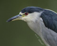 Black-crowned Night Heron Portrait (Bill McDonald 2016) Tags: heron nightheron blackcrowned bird avian lake river water canal perched perching closeup portrait canada september dundas ontario billmcdonald wwwtekfxca nature wildlife photography