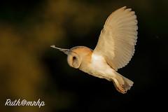 _Z2I5063 (markandruth.photos) Tags: barnowl wildlife owl bird nature flight canonphotography canonuk canon feathers prey animal