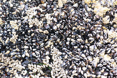 Texture of barnacles and mussels (quinet) Tags: 2018 britishcolumbia canada vancouverisland vancouver 124
