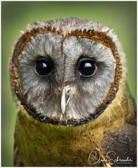 Brown Barn Owl (Heathcliffe2) Tags: brown barn owl bird birdofprey barnowl falconry feathers beak eyes focus hunter hunting colour shades tones wildlife animal wild nature