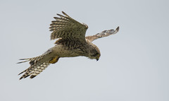 Kestrel (Yvonne Alderson) Tags: bird hover hunting