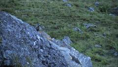 marmotte (bulbocode909) Tags: valais suisse nendaz siviez montagnes nature marmottes rochers vert