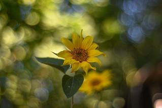 🌻 Sunflower  🌻 🌞