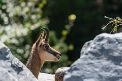 Gemse Alpenzoo (pmair1) Tags: österreich innsbruck zoo gemse alpenzoo tiere tirol