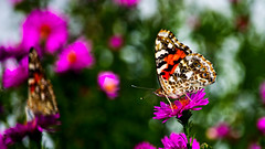 Butterfly Kaleidoscope (Bob's Digital Eye) Tags: 2017 bobsdigitaleye bokeh butterfly canon canonefs55250mmf456isstm depthoffield fauna flicker flickr insect macro organicpattern paintedlady sept2017 t3i
