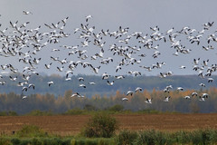 Migration (Peter Stahl Photography) Tags: snowgeese geese fall migration flock