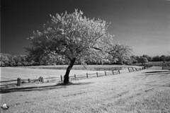 A Tree by the Fence (NFE_0269) (masinka) Tags: etbtsy timeless timelessbuffalo danielnovakphoto bw blackandwhite infrared ir farm farmland rural countryside landscape fence outdoors