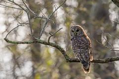 Barred Owl (rob.wallace) Tags: summer 2018 shenandoah national park barred owl