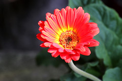 Gerbera (blackpictures) Tags: coth coth5 ngc
