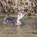 Pied-billed Grebe (Juvenile) with Red Swamp Crayfish Lunch