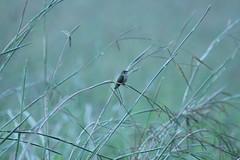 IMG_0222 (davekremitzki) Tags: lincoln memorial garden springfield illinois hummingbird