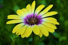 Happy Monday! (DaPuglet) Tags: flower flowers flora floral garden summer august macro colours color bright vibrant coth africandaisy osteospermum coth5 daisy alittlebeauty daisies ontario ngc npc floralfantasy doublefantasy