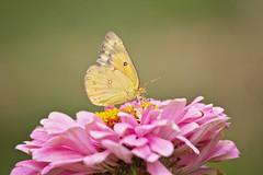 clouded sulfr (G_Anderson) Tags: butterfly garden flowers backyard