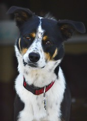 Cooper (gabyjizz) Tags: mutt bordercollie adorable puppy cute animal companion pet canine dog