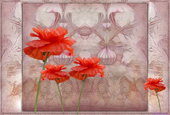 Simply poppies (PaulO Classic. ©) Tags: textures temari canon450d eos450d capetown glencairn poppies poppy photoshop picmonkey tas