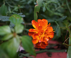 DSC09294 (Old Lenses New Camera) Tags: sony a7r nikon micronikkor macro 55mm f35 plants garden flowers marigolds