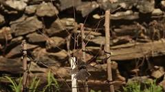 Asas e bico abertos... | Wings and beak open... III (JosBar) Tags: toutinegradosvalados toutinegradecabeçapreta flecha fulecra furamoitas sylviamelanocephala sardinianwarbler alcafozes idanhaanova aves avesemliberdade birds birdsinfreedom canoneos1dx fullframe canonef400mmf28lisiiusm josbar joséluísbarros portugal birdphotographing nocaptivitybirds freebirds faunaportuguesa faunaibérica iberianbirds natureza nature birdwatching fauna ornitologia ornithology wildlife vidaselvagem animals animais birding vidaanimal feathers penas avifauna portuguesebirds birdsinportugal avesemportugal avesdeportugal asas wings observaçãodeaves fotografiadeaves fotografiadenatureza naturephotographing observadordeaves fotógrafodeaves fotógrafodenatureza naturephotographer birdphotographer birdwatcher birdie dodo beak ornitófilo birdinginthewild avian avianphotography biodiversidade biodiversity