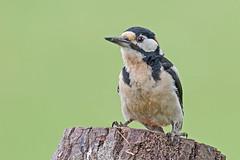 Great Spotted Woodpecker M (drbut) Tags: greatspottedwoodpecker dendrocoposmajor bird birds avian trees woods wildlife nature canonef500f4lisusm