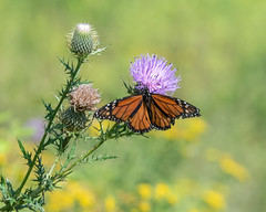 Monarch-18532 (gpferd) Tags: butterflies butterfly flower insect monarchbutterfly plant thistle kennettsquare pennsylvania unitedstates us