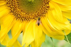 Beeline 901 (Donna's View) Tags: nikon d3300 sunflower flower garden bee honeybee pollen closeup macro