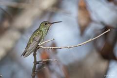 DSC_9691 (P2 New) Tags: 2017 animaux apodiformes cayenne colibriarianedelinné date guyane novembre oiseaux pays placedesamandiers trochilidés