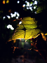 IMG_7452 (ALEKSANDR RYBAK) Tags: листок макро крупный план абстракция солнечный свет тени leaflet macro closeup abstraction solar shine shadows