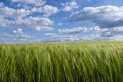 Growth (CoolMcFlash) Tags: field sky cloud plant landscape fujifilm xt2 feld himmel wolken pfanze corn landschaft fotografie photography wetter weather green grün blue blau xf18135mmf3556r lm ois wr horizont horizon