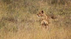 Is there anybody in there? (Nagarjun) Tags: lioness nairobinationalpark kenya eastafrica wildlife carnivore bigcat bigfive female safari gamedrive