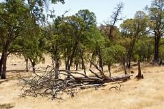 DSC_1772-a42 (stumbleon) Tags: nikondslr nikond7200 amadorcountycalifornia landscape trees california rural countryroads grassland rollinghills