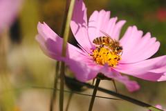 (degreve.sarah) Tags: bee flower honey