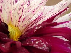 Dahlia (degreve.sarah) Tags: flower dahlia white violet macro