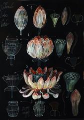 Lotus morphogenesis (kelemengabi) Tags: geometry standingwave lotus tricolor faraday symmetry pentagon nelumbo nonequilibrium morphogenesis computation