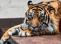 Go On, Play With Me...? (Jo Mitchell Photography) Tags: loveengland nikon felines bigcats photography tiger kent nikond500 thebigcatsanctuary ashford lovegreatbritain nikond500photography fur jomitchellphotography ukpotd photooftheday