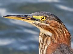 Bird's eye view. (piranhabros) Tags: capecod reflection animal bird eye provincetownbreakwater provincetown heron greenheron