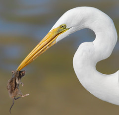 Eye Contact! (bmse) Tags: greategret rodent mouse bolsachica bolsachicawetlands canon7d2400mmf56l wingsinmotion bmse salahbaazizi