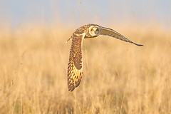 Short Eared Owl (drbut) Tags: shortearedowl asioflammeus trees fields voles avian bird birds wildlife nature birdofprey canonef500f4lisusm