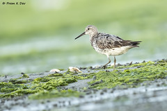 # Great Knot..............in Breeding Plumage !! (Prem K Dev) Tags: great green gorgeous knot brown breeding bird black bokeh bg beautiful plumage pleasing pose preening pulicat white wild wildlife wings wader water wonderful chennai chocolate colourful composition blue nature india