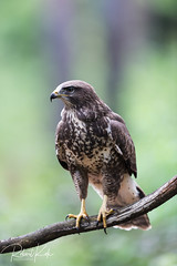 Common Buzzard! (Jambo53 (catching up)) Tags: commonbuzzard buizerd forest bos raptor birdofprey roofvogel copyrightrobertkok nikond800 nikkon500f4 wildlife bokeh nature buteobuteo