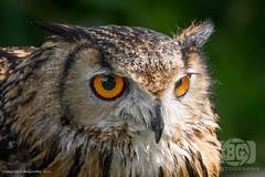 Eagle Owl (Baljinder.Gill) Tags: owl eagleowl animalphotography animals animalsupclose animal wildlife wildlifephotography wildlifenature wildlifeupclose birds birdphotography bird birdsupclose nikon nature naturephotography naturewildlife